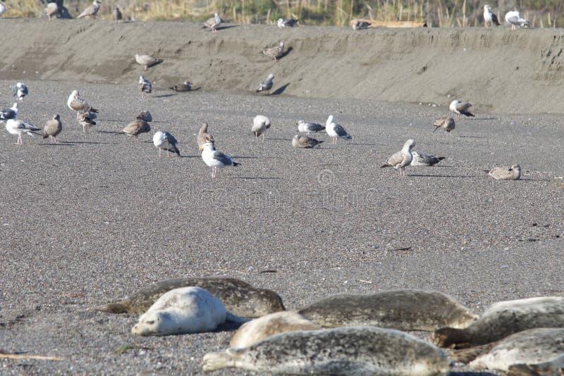 Пляж утеса козы - северозападное Sonoma County, Калифорния, уплотнения на рте русского реки, и южном конце t стоковая фотография rf
