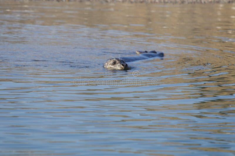 Пляж утеса козы - северозападное Sonoma County, Калифорния, уплотнения на рте русского реки, и южном конце t стоковые изображения rf