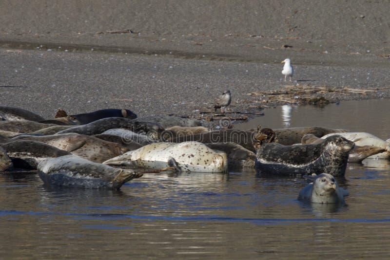 Пляж утеса козы - северозападное Sonoma County, Калифорния, уплотнения на рте русского реки, и южном конце t стоковое фото rf