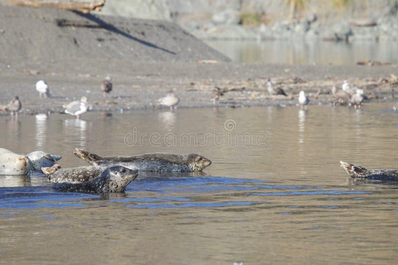 Пляж утеса козы - северозападное Sonoma County, Калифорния, уплотнения на рте русского реки, и южном конце t стоковое изображение