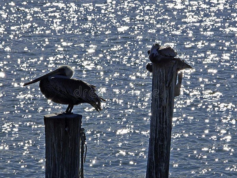 Пляж Флориды, Мадейры, 3 пеликана садить на насест на хоботе дерева стоковое изображение rf