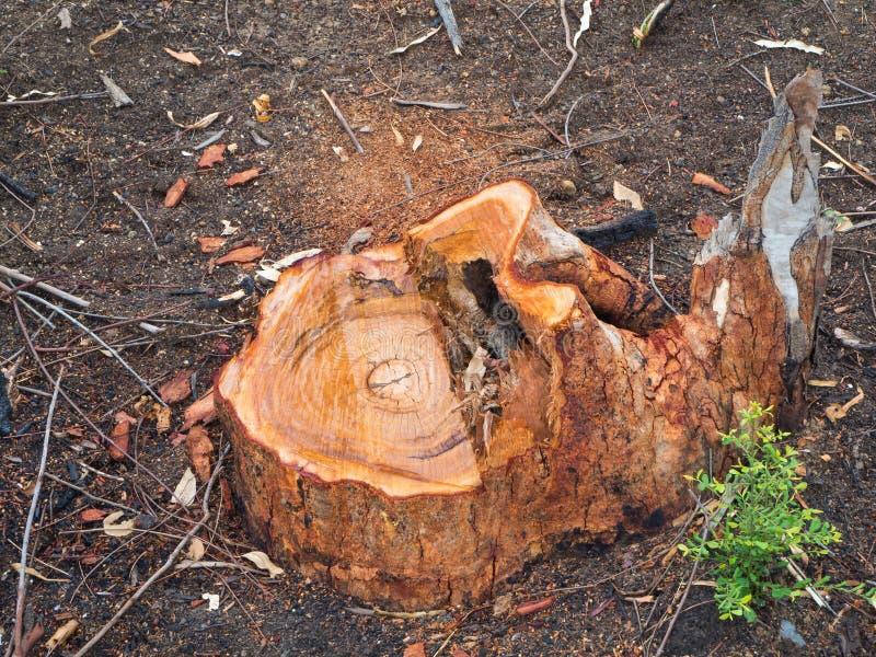 Пни выведенные от обезлесения стоковое фото rf