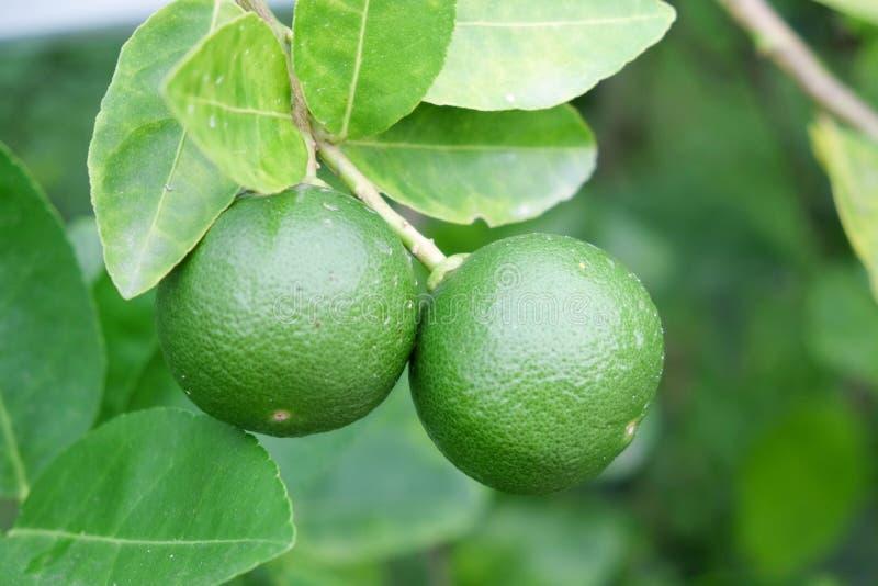 Побелите плодоовощ известью, светло-зеленую смертную казнь через повешение дерева от ветвей его стоковая фотография