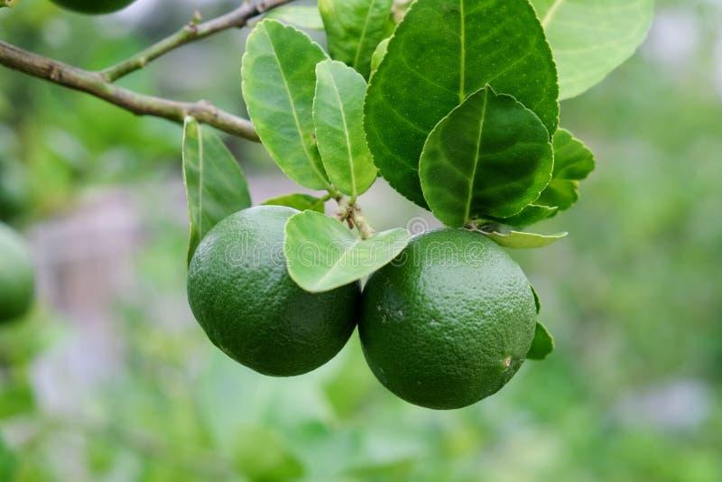Побелите плодоовощ известью, светло-зеленую смертную казнь через повешение дерева от ветвей его стоковые изображения rf