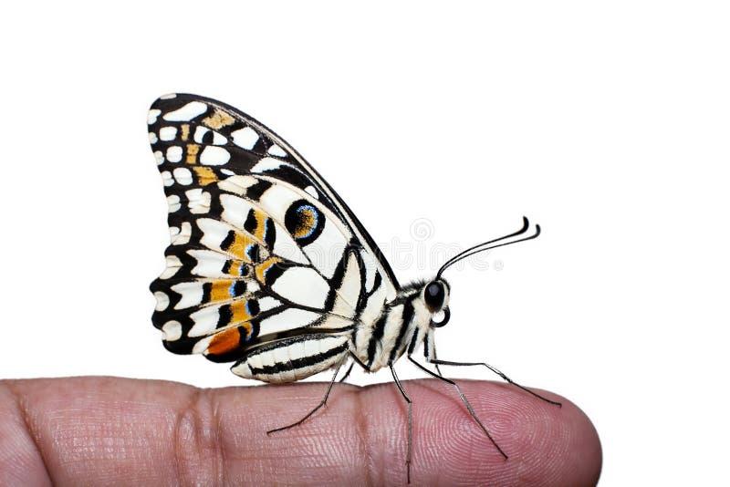 Побелите бабочку известью на человеческом пальце на белой предпосылке стоковые фотографии rf