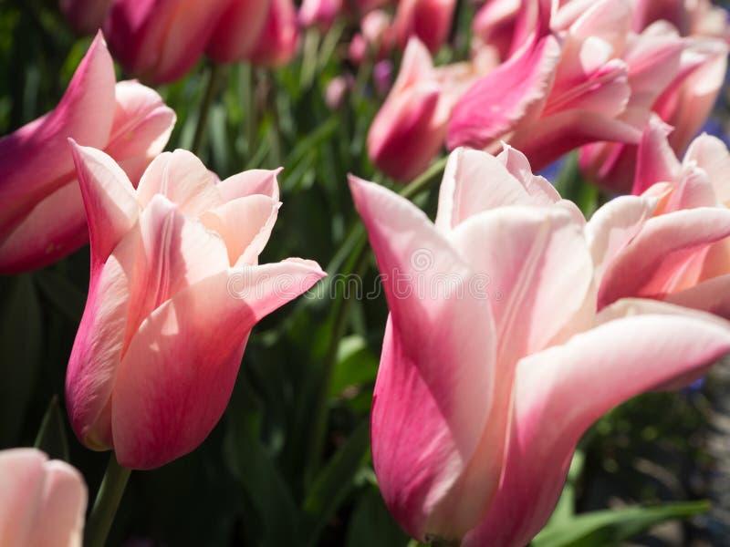 Побледнейте - розовые и белые тюльпаны стоковая фотография rf
