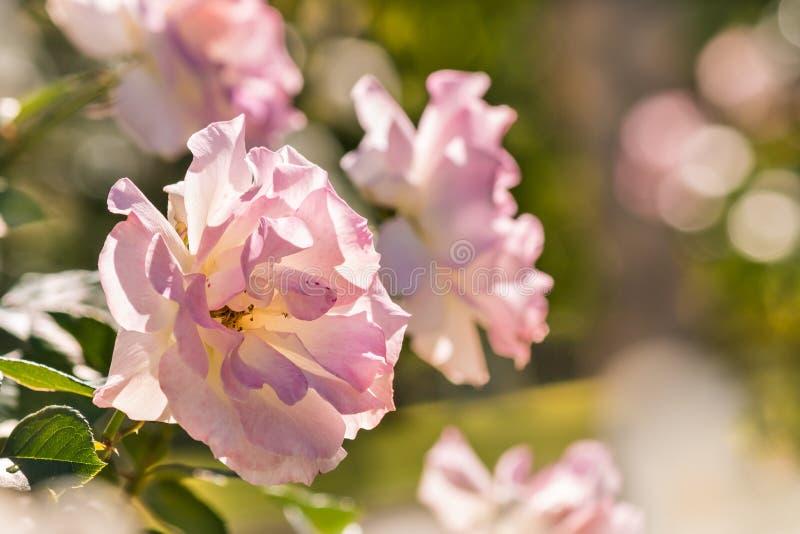 Побледнейте - розовые гибридные розы чая в розарии стоковое изображение