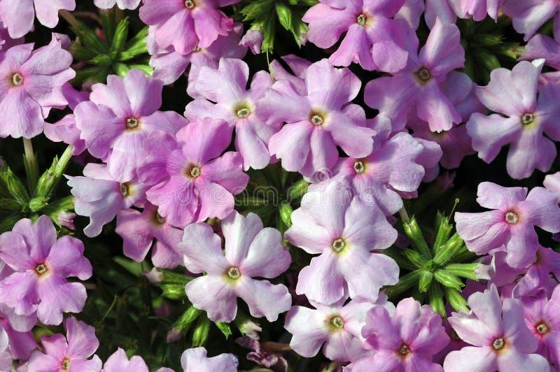 Побледнейте - розовые отставая цветки вербены стоковые изображения