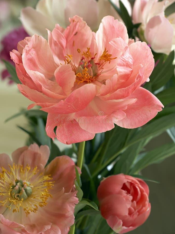 Побледнейте - розовый пион стоковая фотография rf