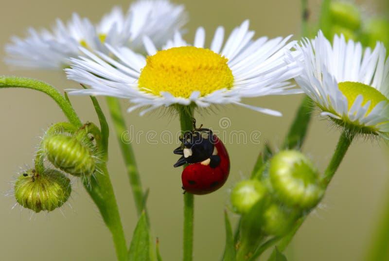 повелительница жука стоковое фото rf