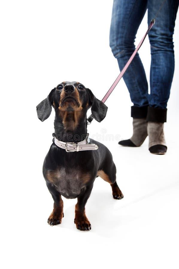 поводок dachshund стоковое фото rf