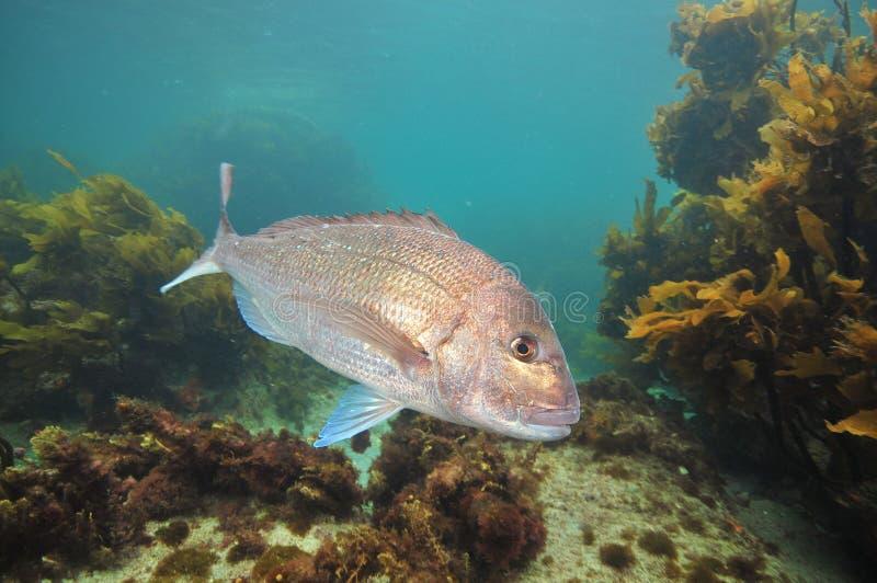 Поворачивать рыб луциана стоковое изображение rf