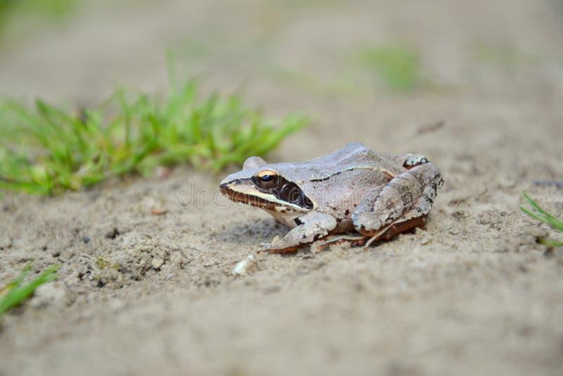 поворотливая Рана лягушки dalmatina стоковые фотографии rf