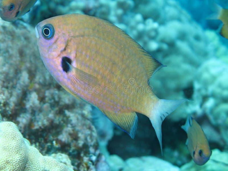 поворотливый damselfish chromis стоковое изображение