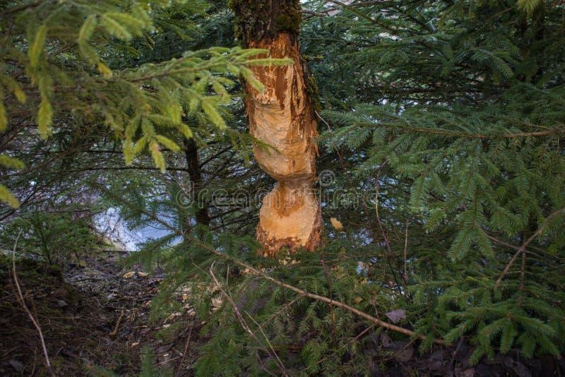 Повреждение бобра к деревьям стоковое изображение