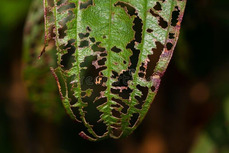 Поврежденные листья с отверстиями стоковые фотографии rf