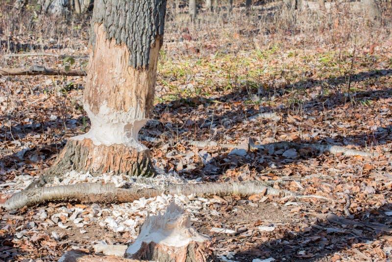 Повреждение дерева бобра стоковое фото