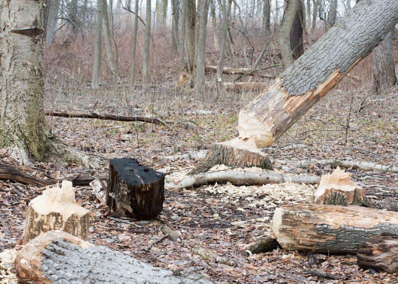 Повреждение дерева бобра стоковая фотография