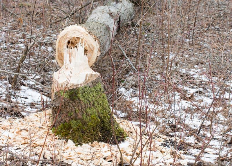 Повреждение дерева бобра стоковые изображения
