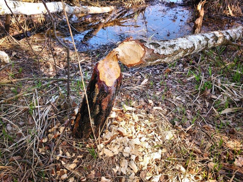 Повреждение дерева бобра стоковые фотографии rf