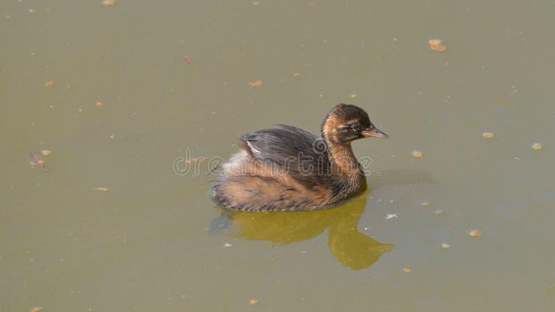 Поганковые детенышей маленькие в воде озера стоковые изображения rf