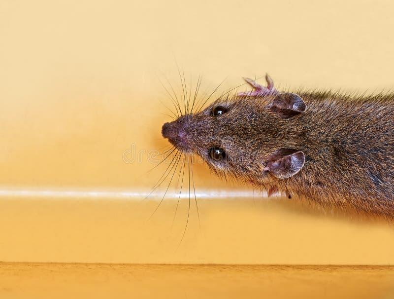 Поглощенный разбойник мыши сыра стоковое изображение rf