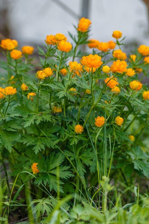 Погода европейской оранжевой принцессы тролля цветков весны солнечная в саде стоковые изображения