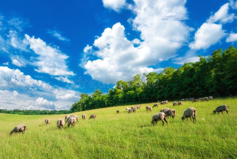 Поголовье пася на луге лета в Венгрии Овцы, коза и овечка на выгонах около Pannonhalma, холмах Sokoro стоковые изображения