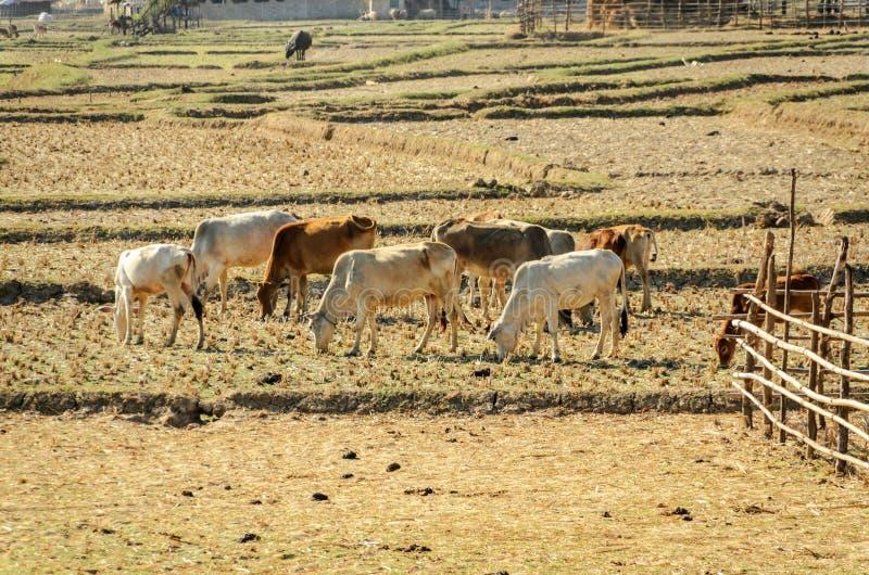 Поголовье коров в засухе поля стоковое изображение rf