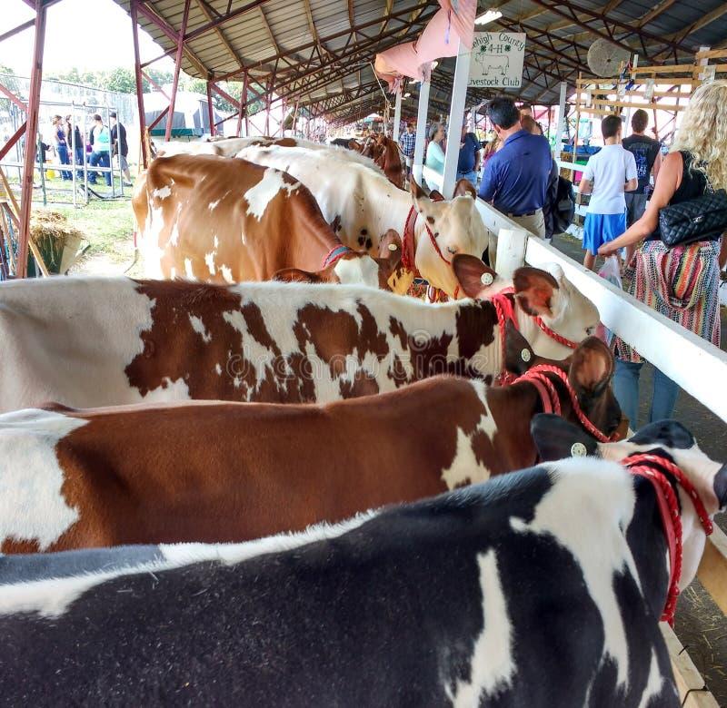 Поголовье на окружной ярмарке, люди уча о скотинах, Пенсильвания, США стоковые изображения rf