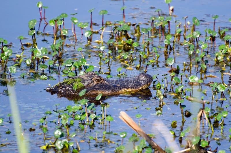 Погруженный в воду аллигатор, охраняемая природная территория соотечественника саванны стоковая фотография