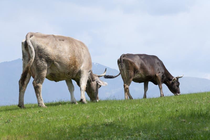 подавать коров стоковые фото