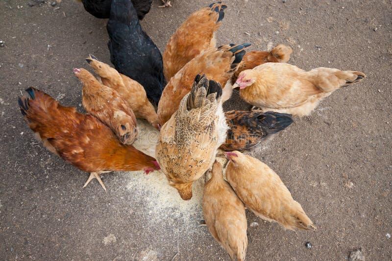 подавать цыпленка стоковые изображения