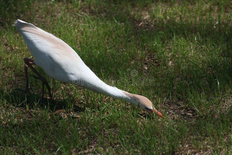 подавать egret стоковая фотография rf