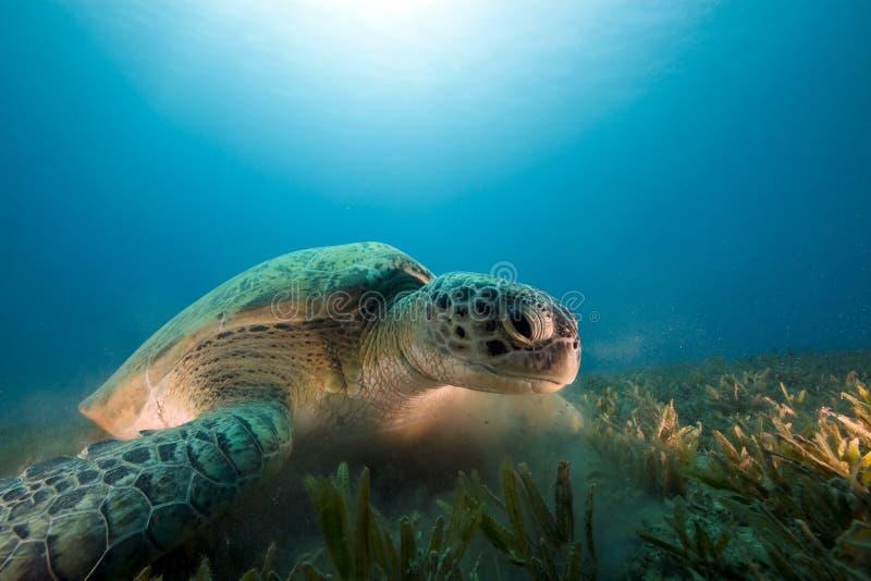 подавая зеленая черепаха seagrass стоковые изображения rf