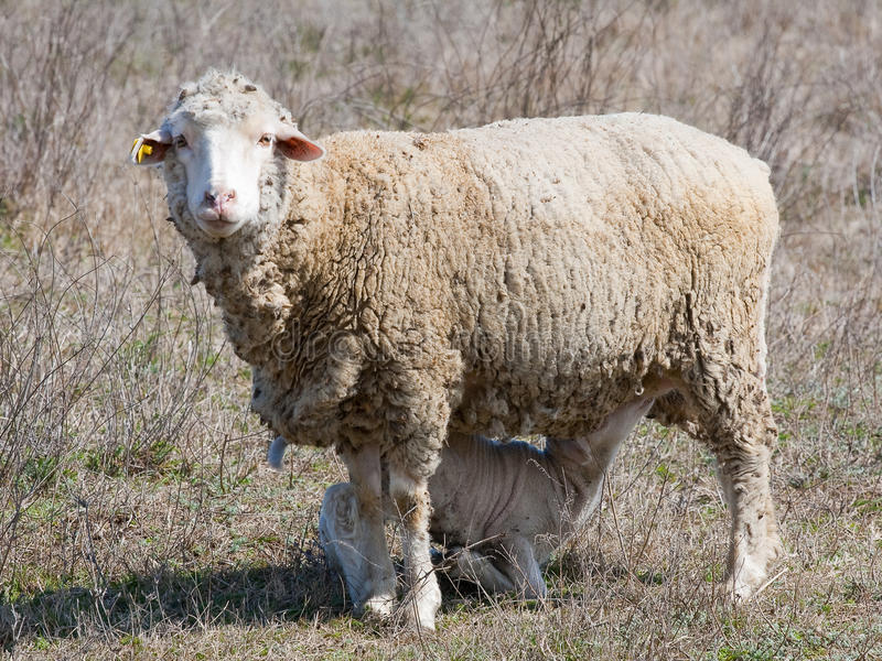 подавая овцы овечки стоковое изображение rf
