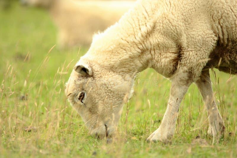 подавая овцы стоковое фото