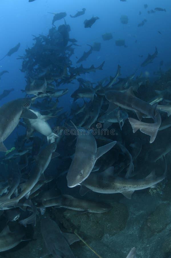 Подавая остервенение Sharknado в Японии стоковое фото rf