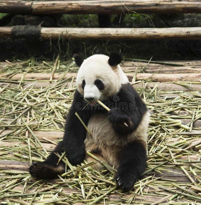 подавая панда стоковые фотографии rf
