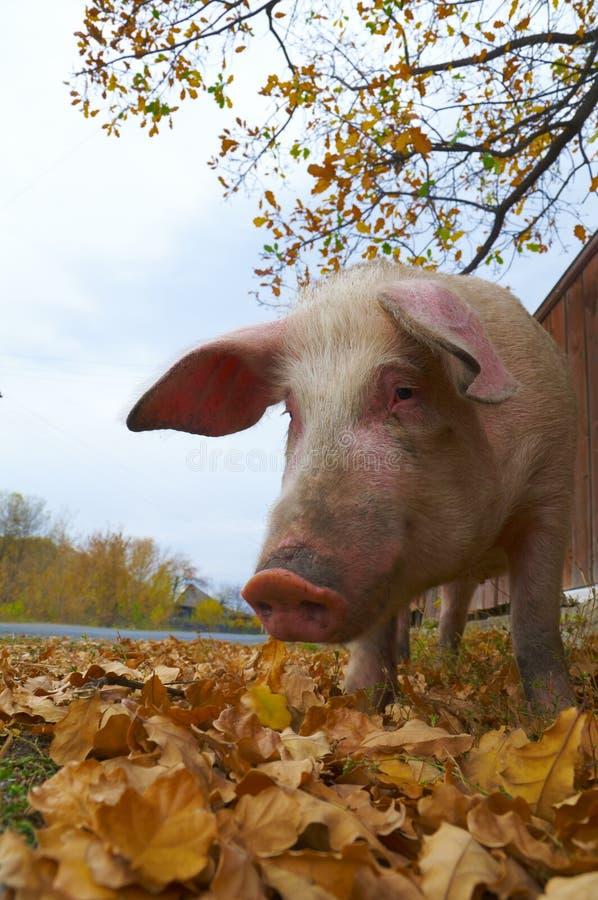 подавая свинья стоковое изображение