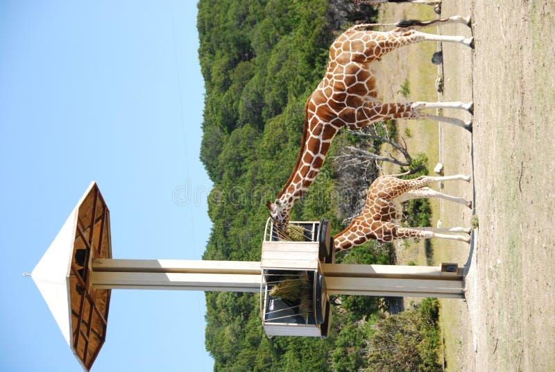 подавая giraffes станция стоковое изображение rf