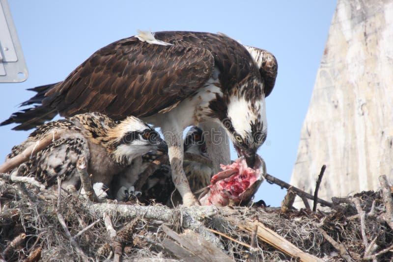 подавая osprey стоковая фотография