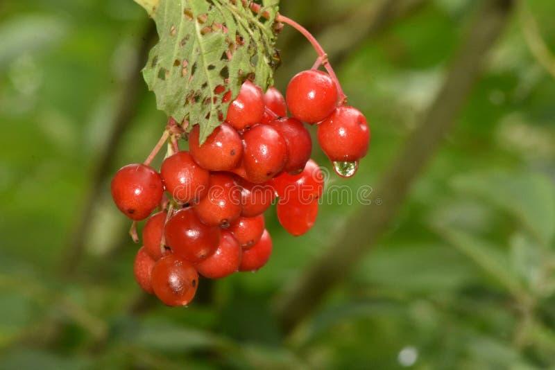 Подарки щедрости природ природы ягоды зимы Guelder Роза стоковая фотография