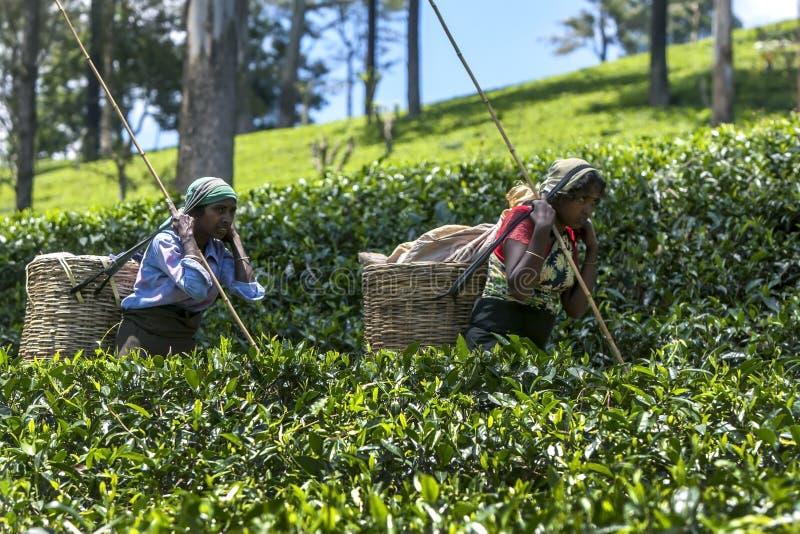 Подборщики чая Тамильского языка двигают через плантацию в зоне Nuwara Eliya Шри-Ланки стоковые изображения rf