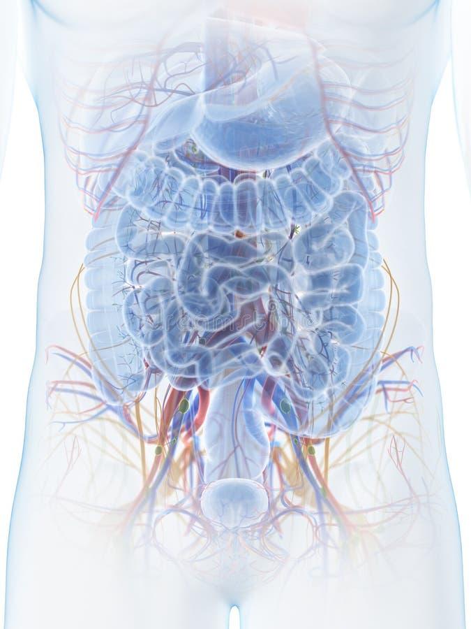 Подбрюшная анатомия иллюстрация вектора