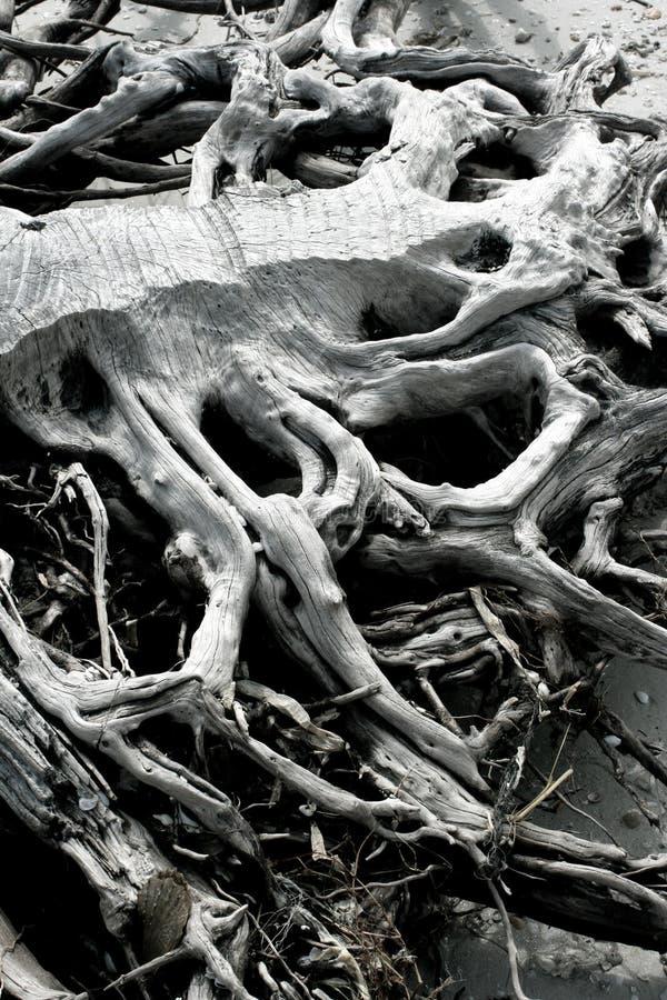 подвергли действию sheashore корней стоковое изображение rf