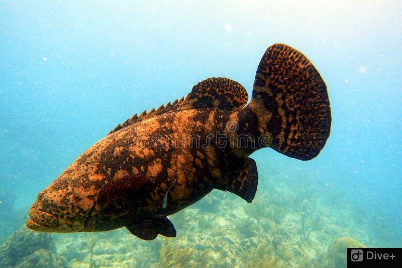 Подводное фото плавания морского окуня Голиафа в океане стоковая фотография