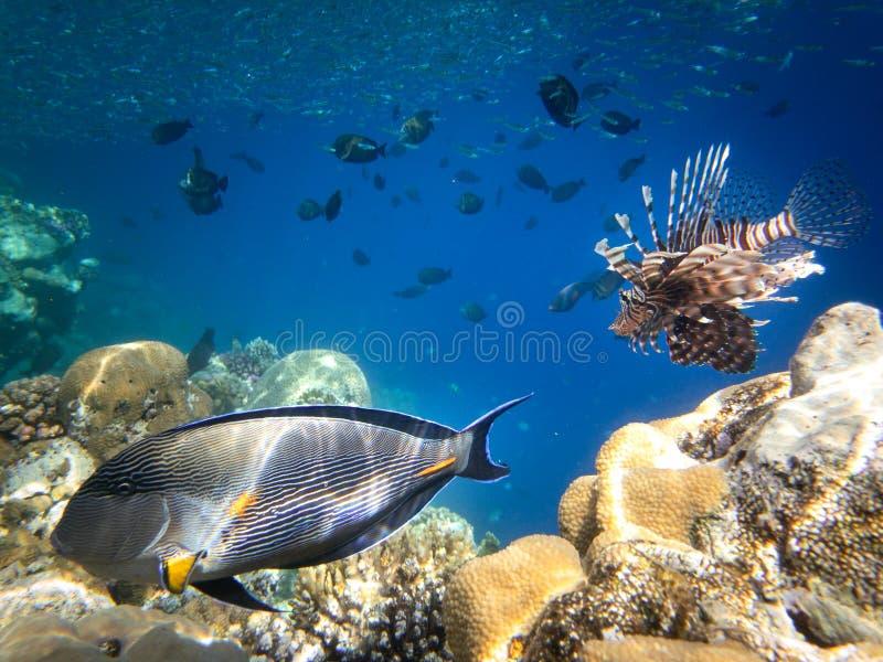 Подводный плавани в Marsa Alam, Египет Коралловый риф и рыбы льва стоковые изображения rf