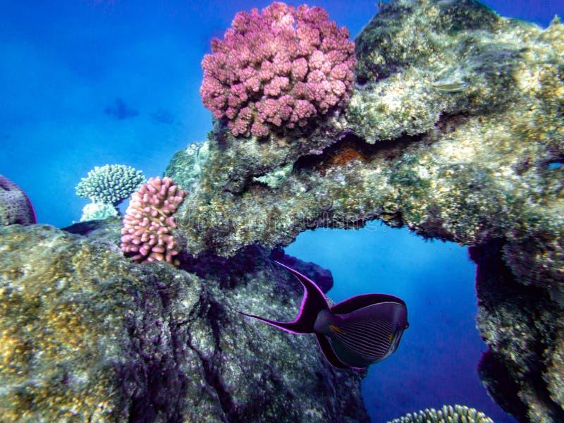 Подводный плавани в Marsa Alam, Египет Коралловый риф стоковое фото