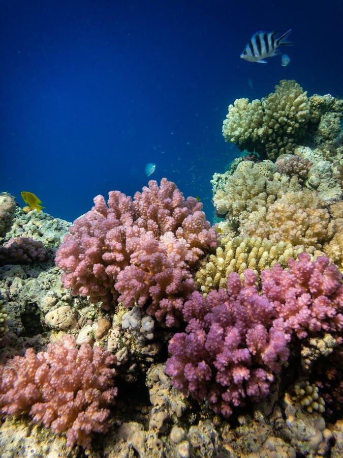 Подводный плавани в Marsa Alam, Египет Коралловый риф стоковые изображения